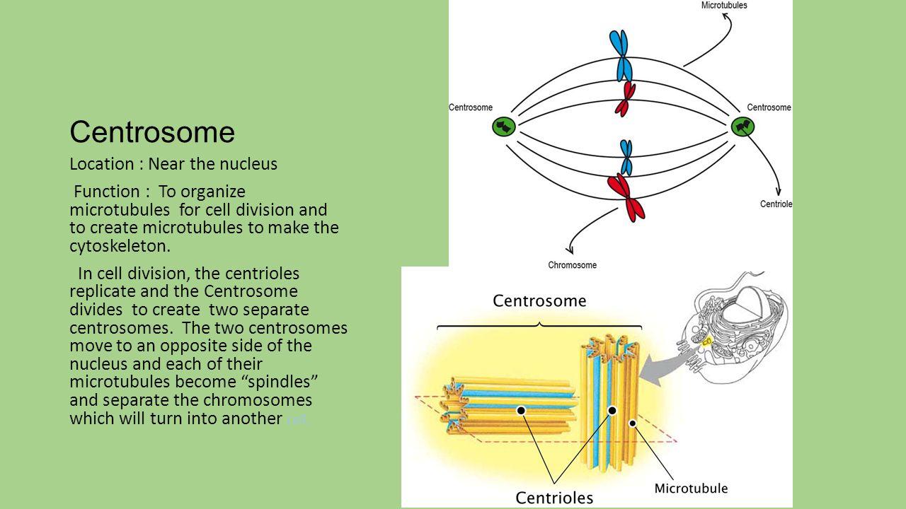Centriole plant cell