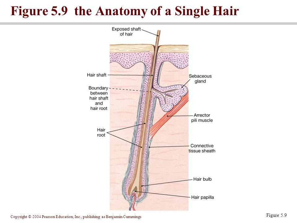 Nice Hair Root Anatomy Vignette Anatomy Ideas Yunokifo