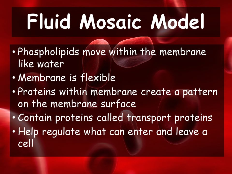 Phospholipids move within the membrane like water Membrane is flexible Proteins within membrane create a pattern on the membrane surface Contain proteins called transport proteins Help regulate what can enter and leave a cell Fluid Mosaic Model