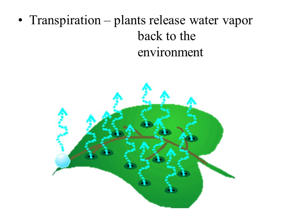 Transpiration – plants release water vapor back to the environment