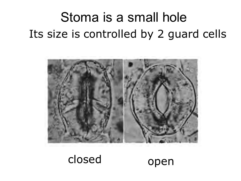 Stoma is a small hole Its size is controlled by 2 guard cells closed open
