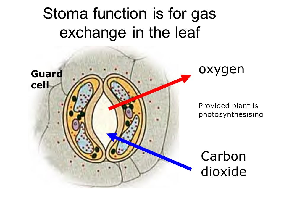 Stoma function is for gas exchange in the leaf Carbon dioxide oxygen Guard cell Provided plant is photosynthesising
