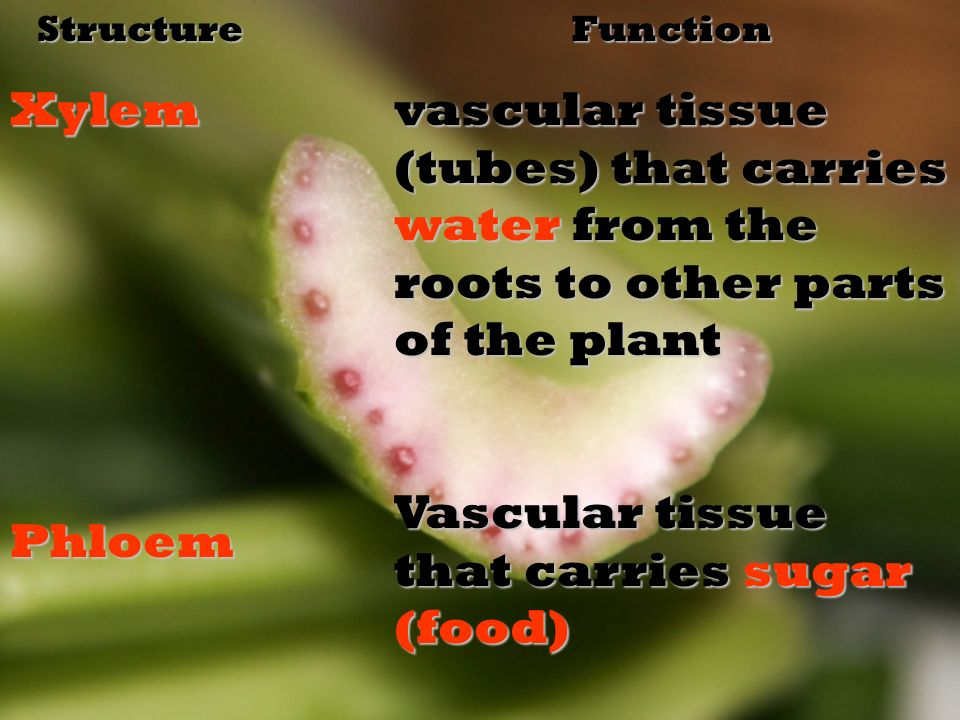 StructureXylemPhloemFunction vascular tissue (tubes) that carries water from the roots to other parts of the plant Vascular tissue that carries sugar (food)