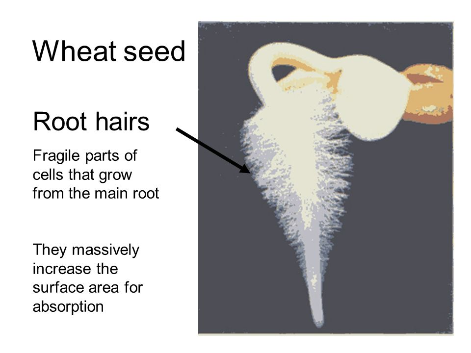 Wheat seed Root hairs Fragile parts of cells that grow from the main root They massively increase the surface area for absorption