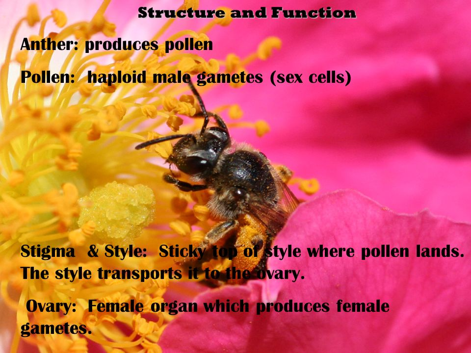 Structure and Function Structure and Function Anther: produces pollen Pollen: haploid male gametes (sex cells) Stigma & Style: Sticky top of style where pollen lands.