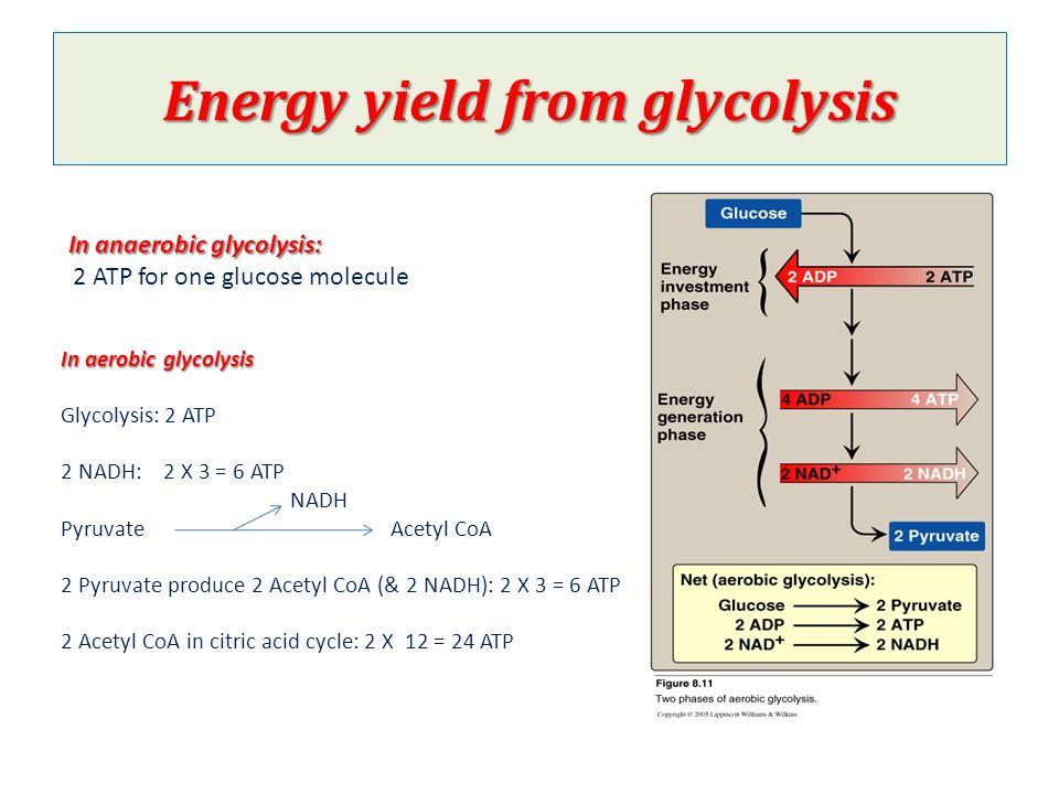 Glucose to acetyl coa