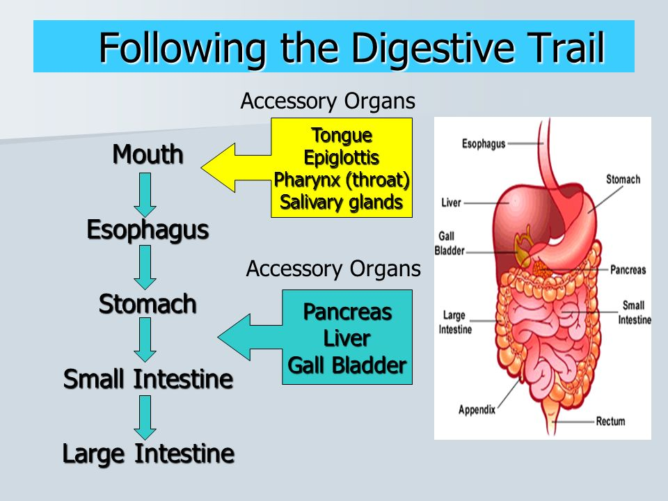 Human anatomy physiology ppt video online download 5 following the digestive trail accessory organs tongue epiglottis pharynx throat salivary glands mouth esophagus stomach small intestine large intestine ccuart Image collections