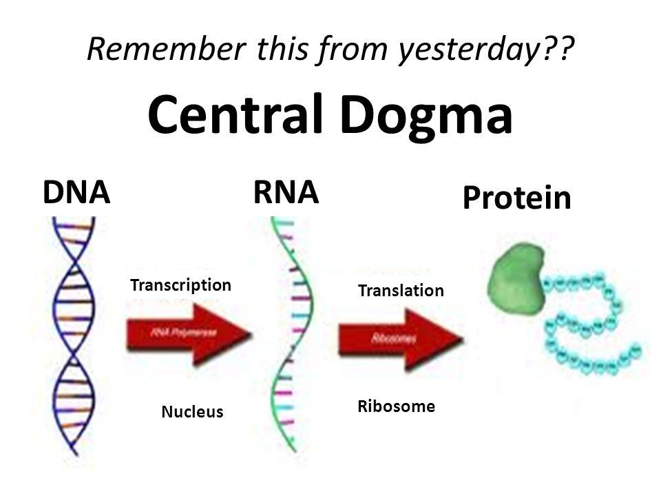 Central dogma dna nucleus ribosome translation transcription protein 2 central dogma dna nucleus ribosome translation transcription ccuart Choice Image