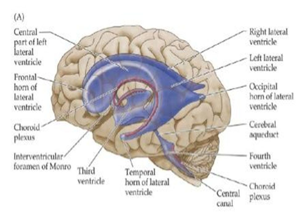 Meninges Csf Ventricular System Objectives Describe The
