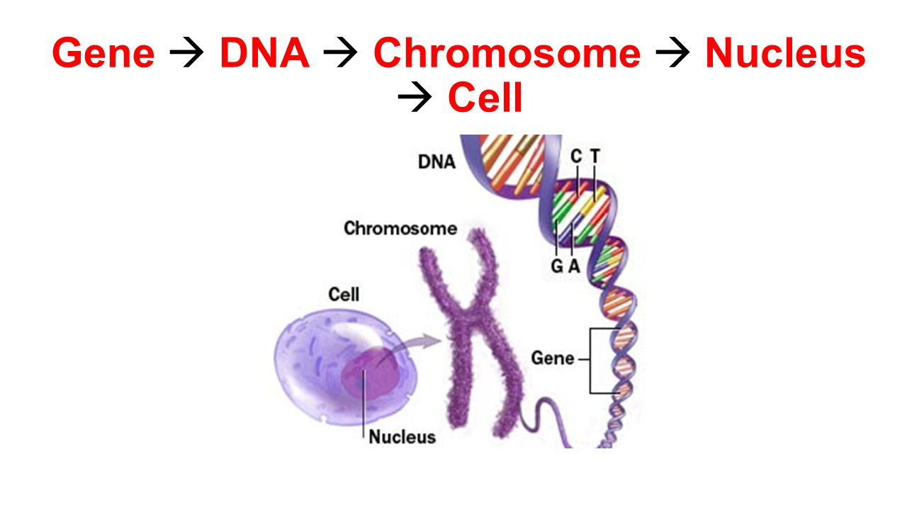 dna chromosome Learn about genes and their building blocks - dna and chromosomes learn how genes help make different proteins and cells for your body.
