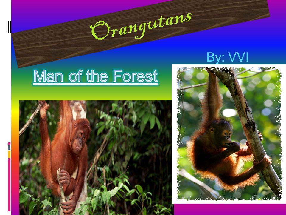 Orangutans By: VVI