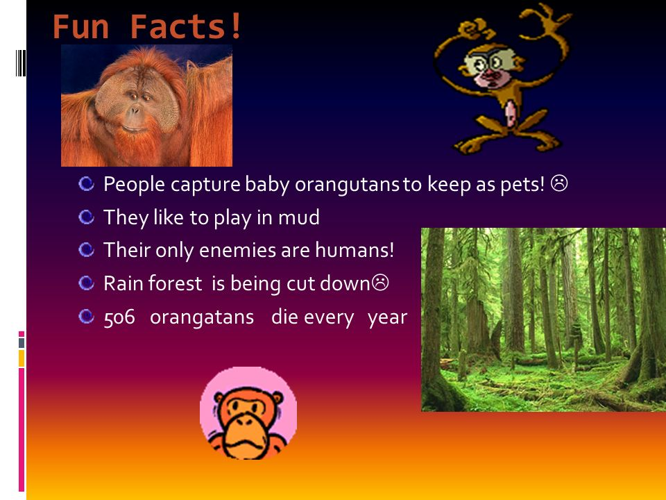 Fun Facts. People capture baby orangutans to keep as pets.