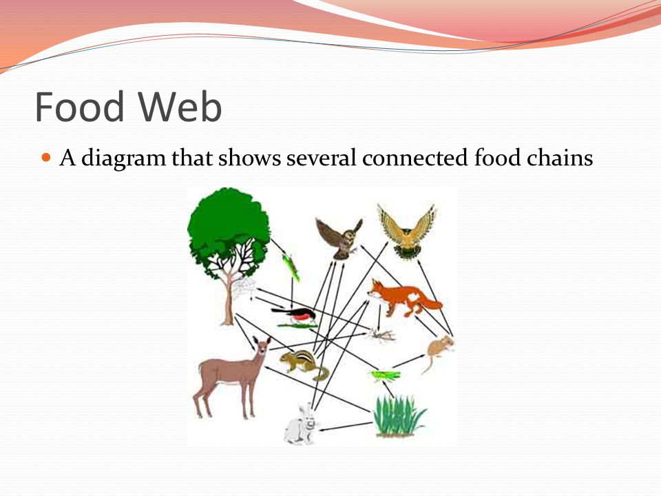 Food Web A diagram that shows several connected food chains