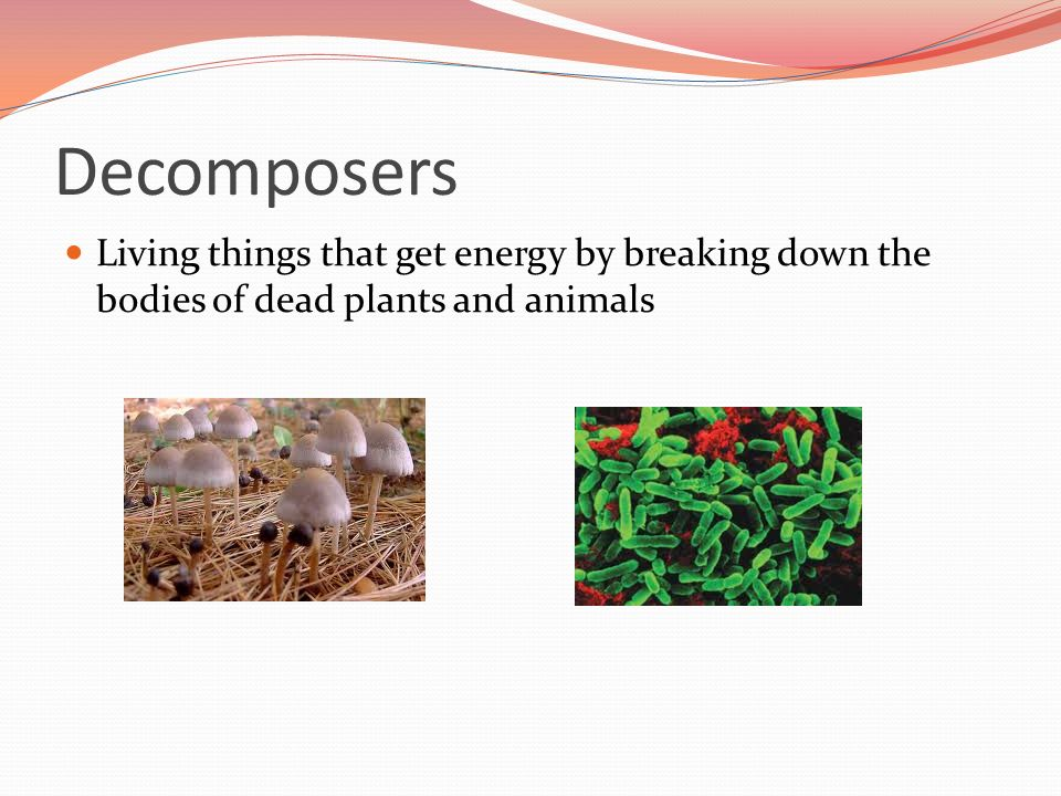 Decomposers Living things that get energy by breaking down the bodies of dead plants and animals