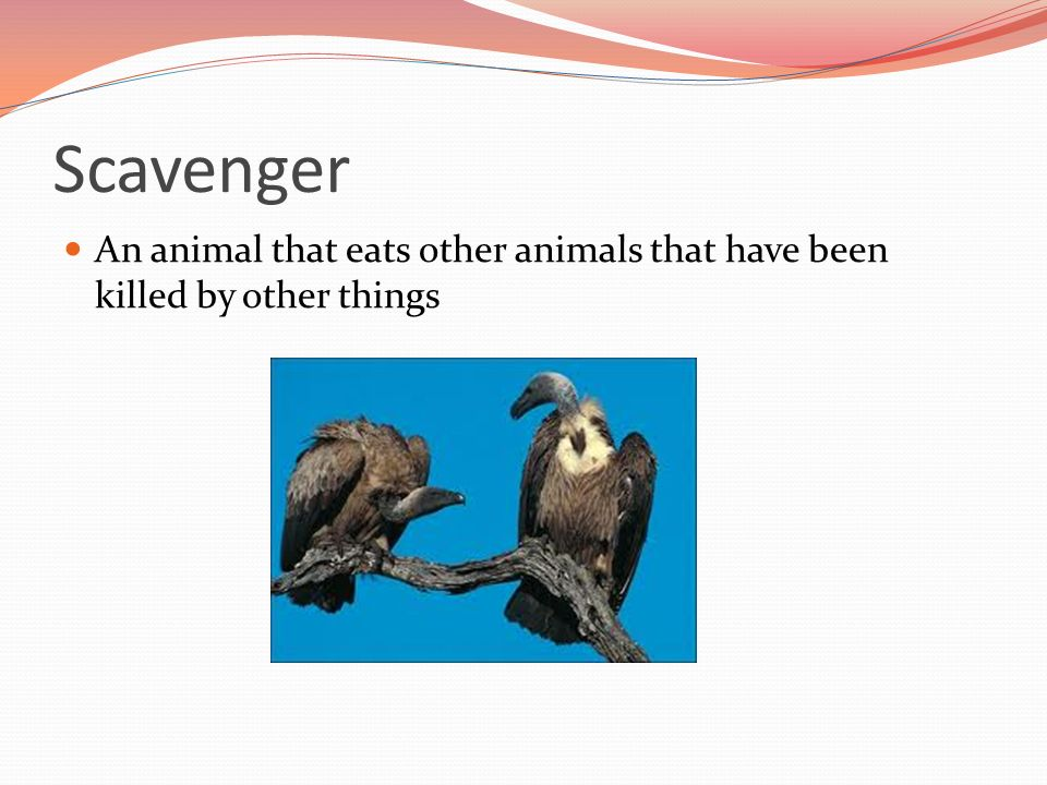 Scavenger An animal that eats other animals that have been killed by other things