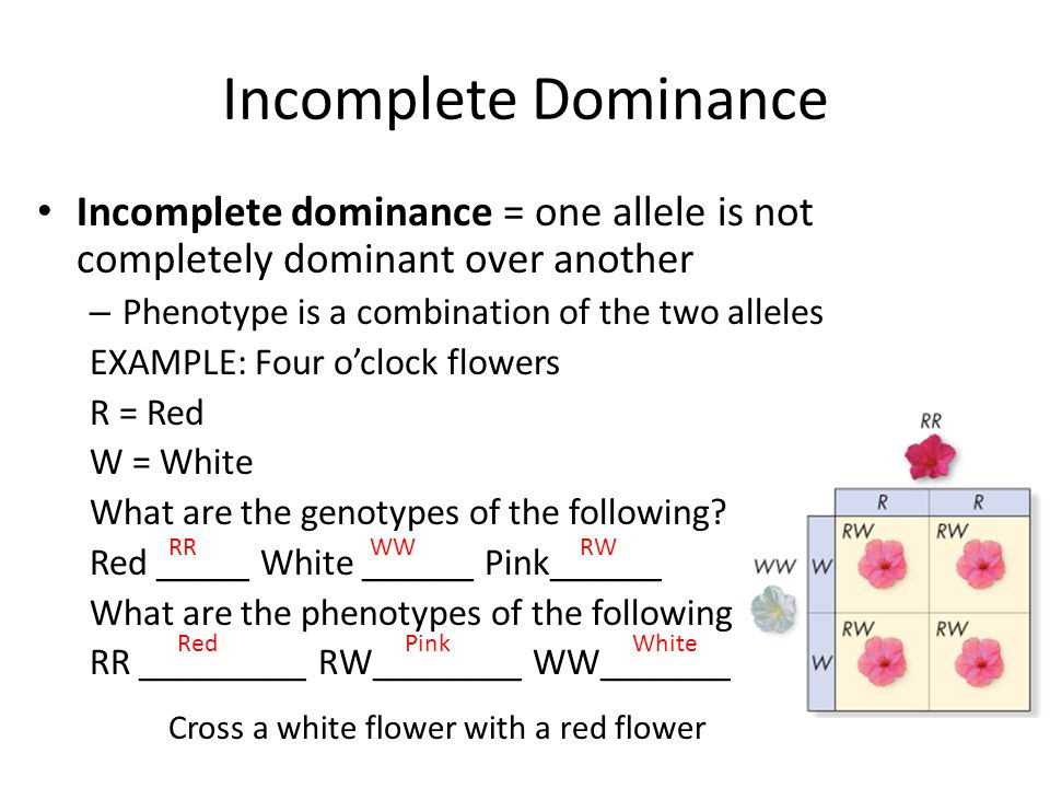 Abo Multiple Allele Worksheet 1 Answers codominance definition – Multiple Alleles Worksheet