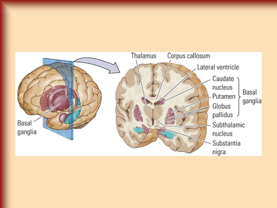 Gross Anatomy and CNS Organization; Neuroimaging Techniques March 31 ...