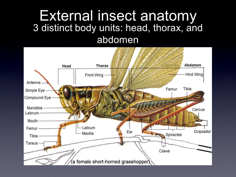 Dorable Grasshopper Head Anatomy Embellishment Physiology Of Human