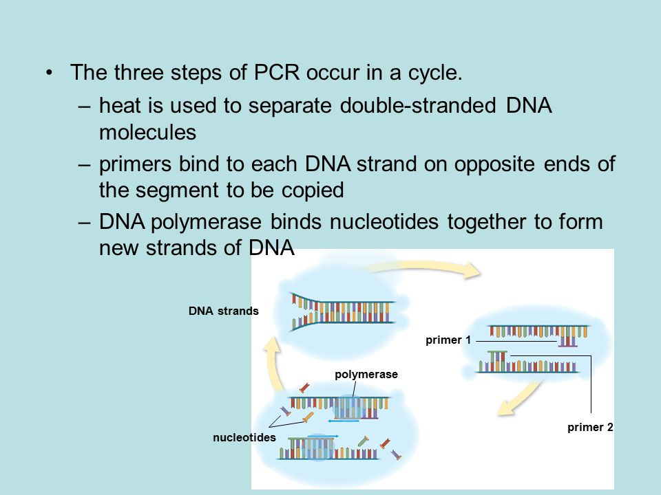 DNA strands polymerase nucleotides primer 1 primer 2 The three steps of PCR occur in a cycle.