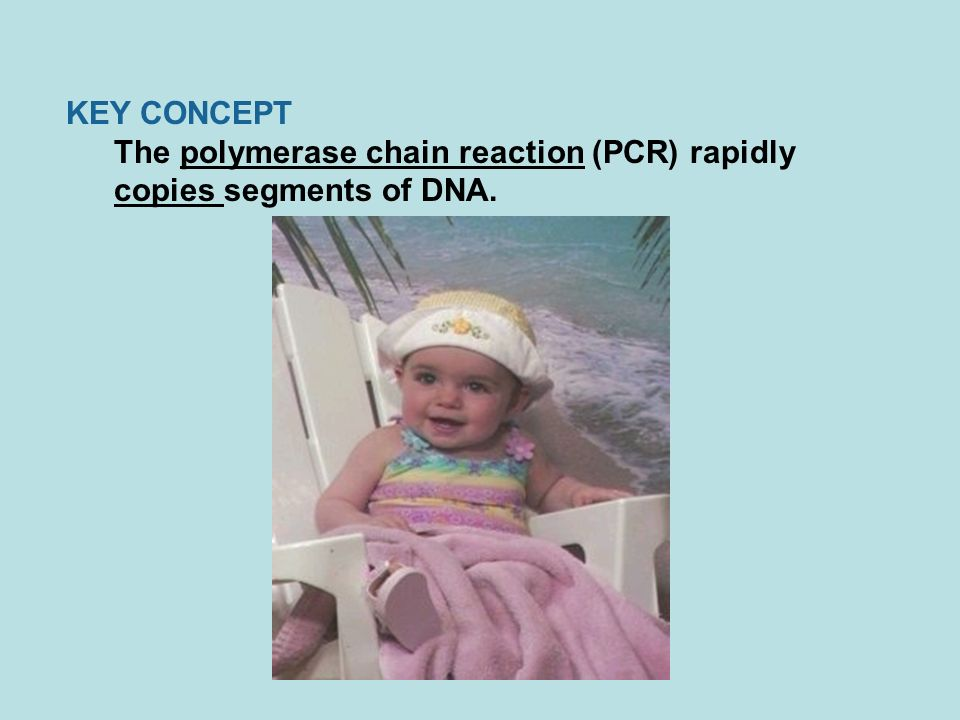 KEY CONCEPT The polymerase chain reaction (PCR) rapidly copies segments of DNA.