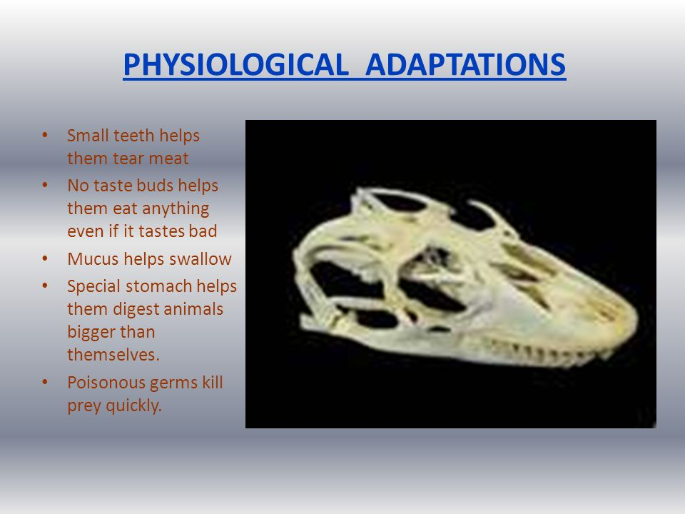 PHYSIOLOGICAL ADAPTATIONS Small teeth helps them tear meat No taste buds helps them eat anything even if it tastes bad Mucus helps swallow Special stomach helps them digest animals bigger than themselves.