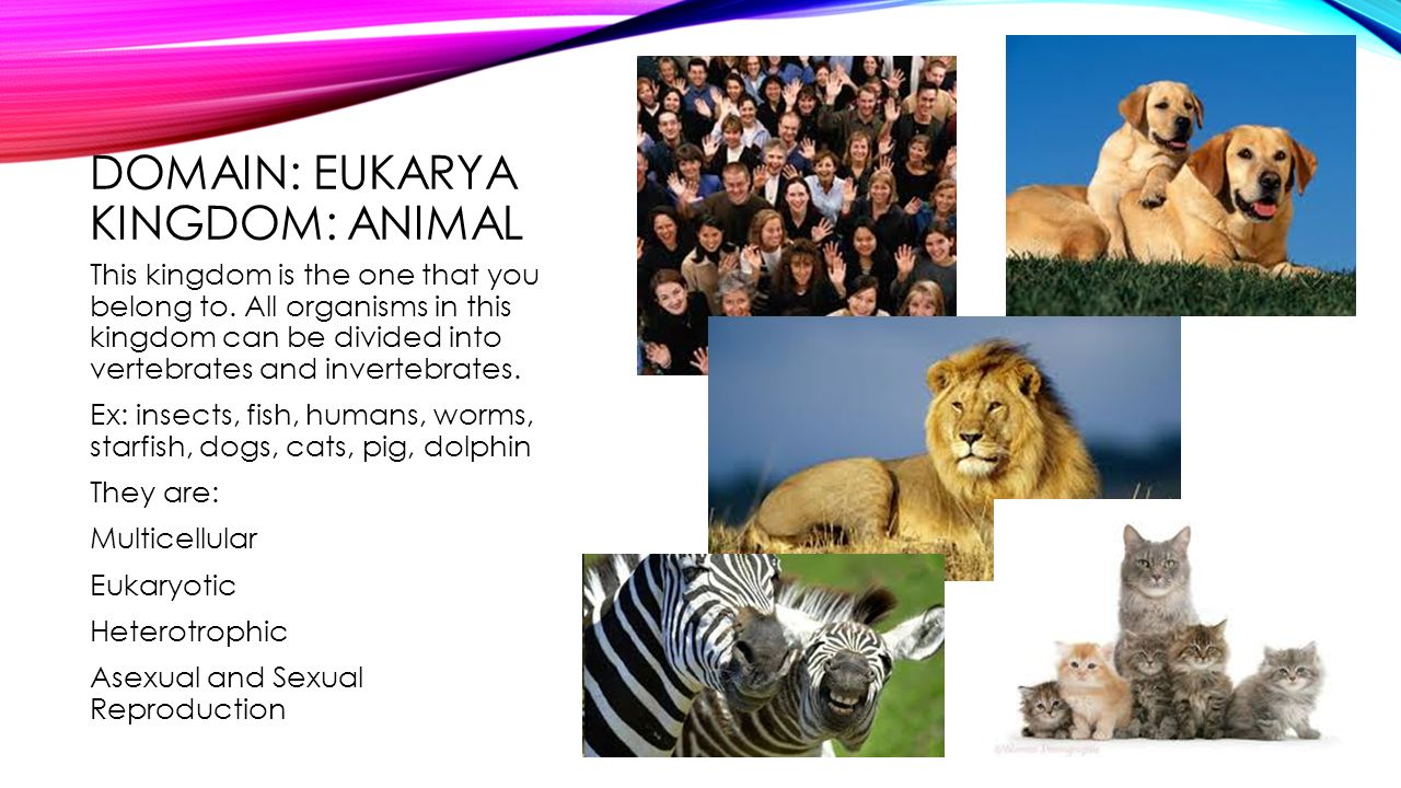 DOMAIN: EUKARYA KINGDOM: ANIMAL This kingdom is the one that you belong to.