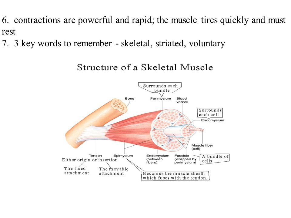 Muscular system i muscle types a all muscle cells are elongated 6 contractions are powerful and rapid the muscle tires quickly and must rest 7 ccuart Choice Image
