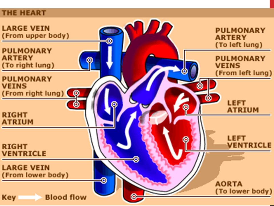 the heart the cardiovascular system. heart chambers atria – two, Sphenoid