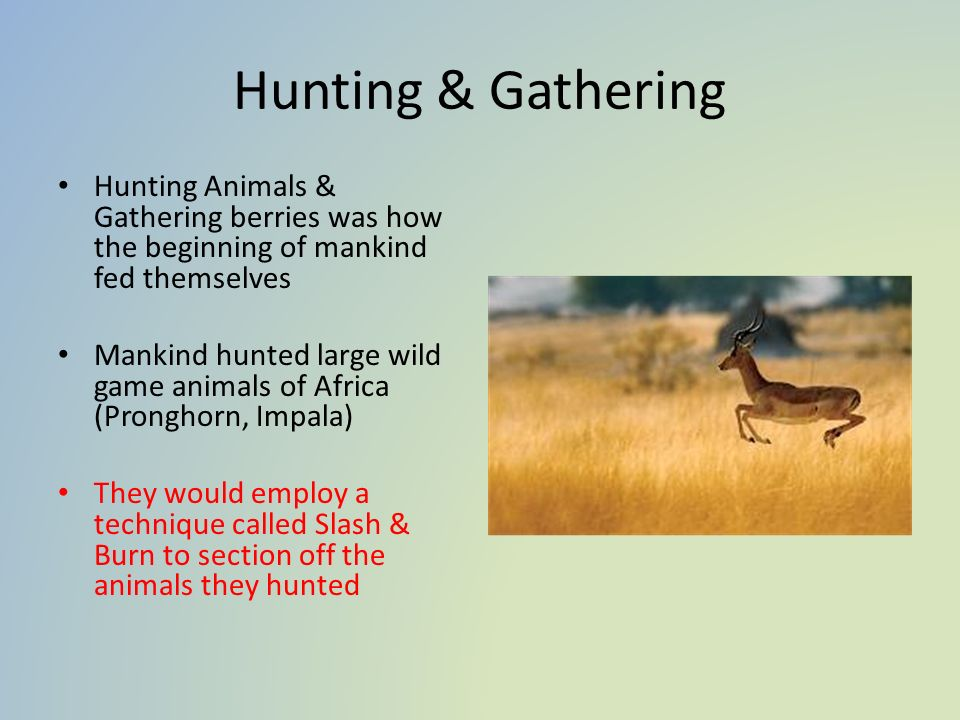 Hunting & Gathering Hunting Animals & Gathering berries was how the beginning of mankind fed themselves Mankind hunted large wild game animals of Africa (Pronghorn, Impala) They would employ a technique called Slash & Burn to section off the animals they hunted