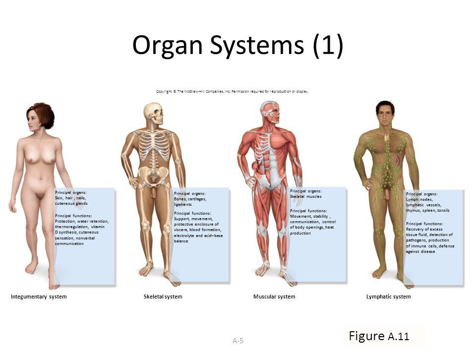 Atemberaubend Menschliche Anatomie Integumentary System ...