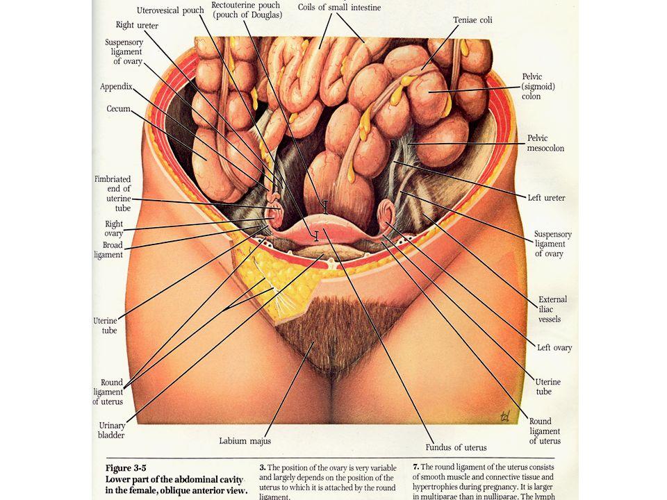 Posterior Abdominal Wall Pelvis Ureter Ppt Download