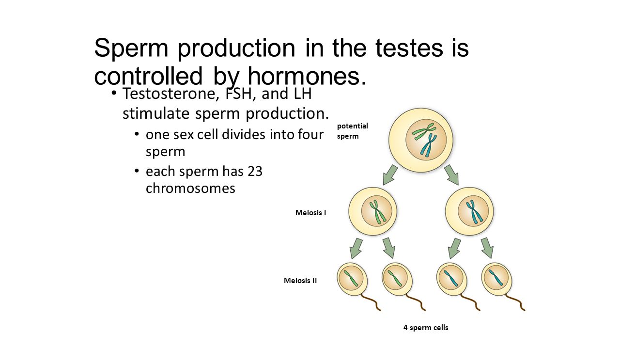 Sperm production in the testes is controlled by hormones. Testosterone, FSH, and LH stimulate sperm production. one sex cell divides into four sperm e
