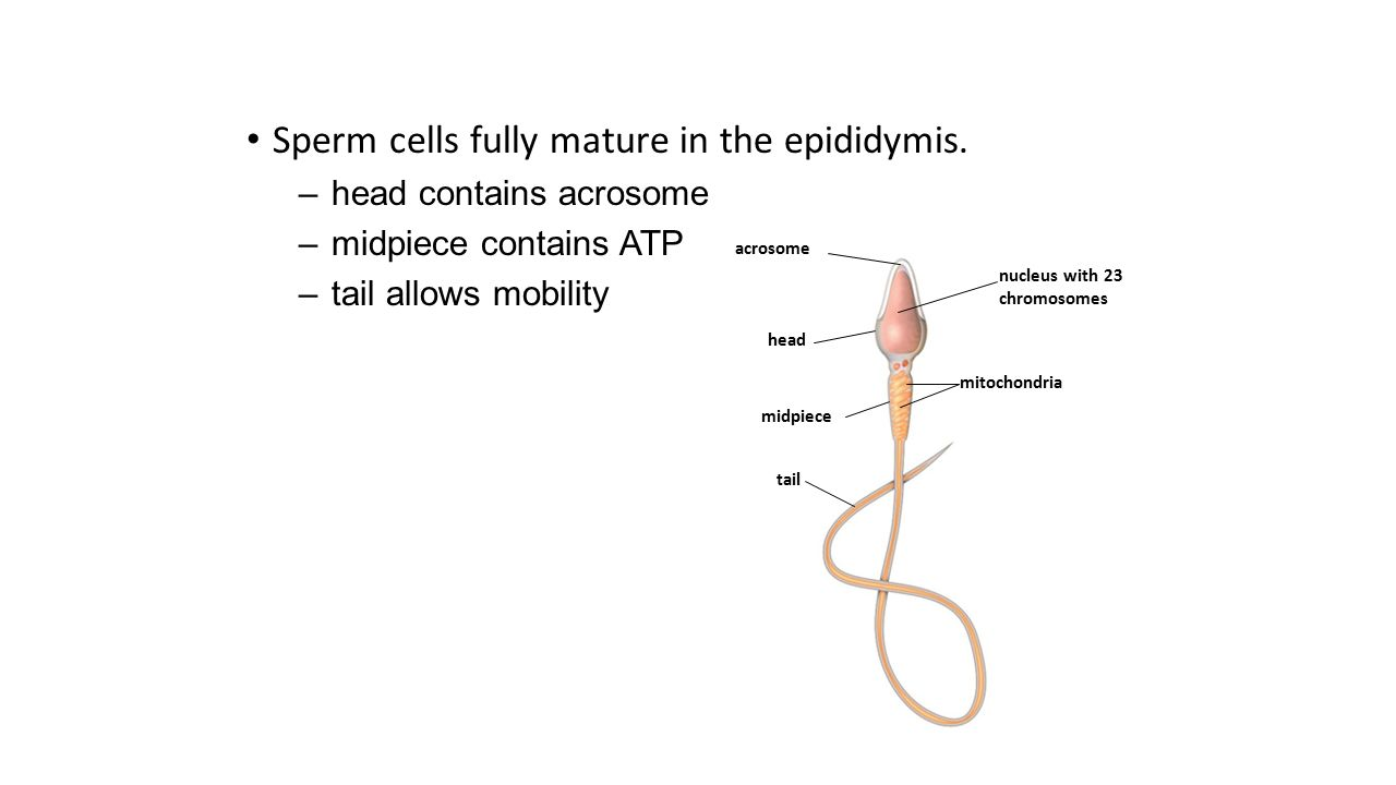 acrosome head midpiece tail mitochondria nucleus with 23 chromosomes Sperm cells fully mature in the epididymis. –head contains acrosome –midpiece con