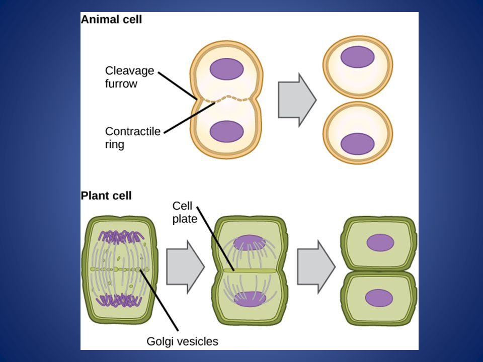 size and cycle an essay on the structure of biology Biology eoc study guide with practice questions 2 • mt 11 cell structure best explanation for the difference in the cellular vacuole size between.
