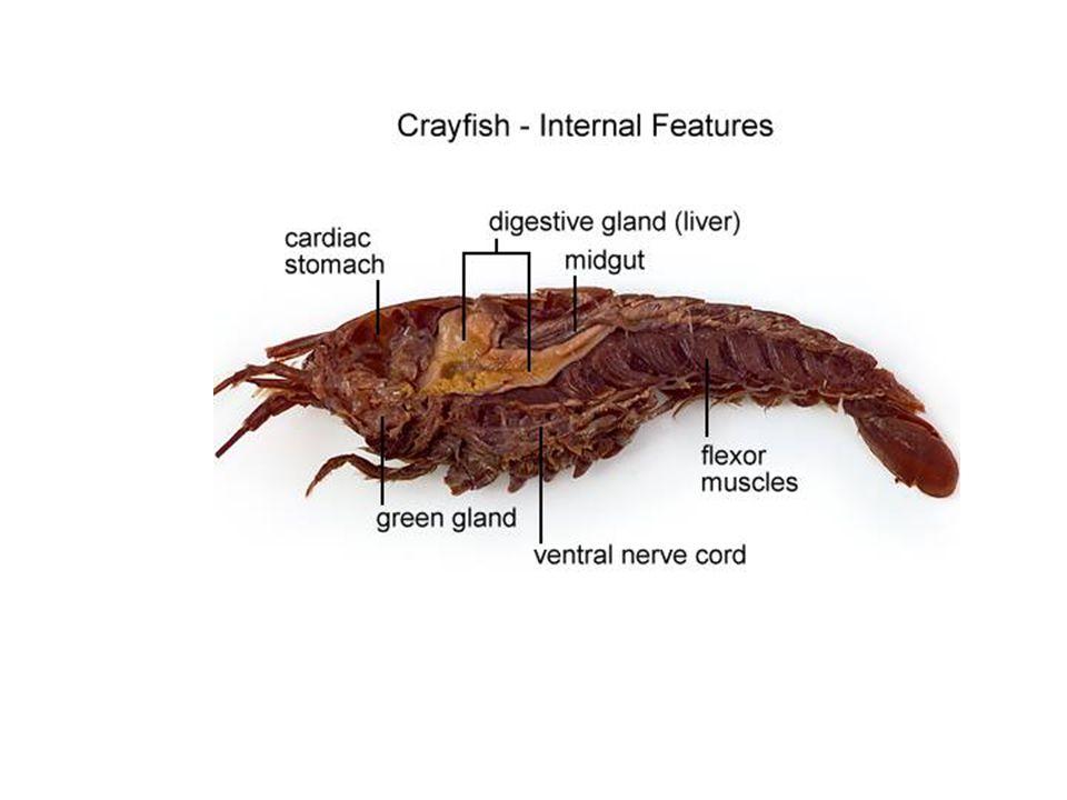 Beautiful Crayfish Dissection Anatomy Embellishment - Human Anatomy ...