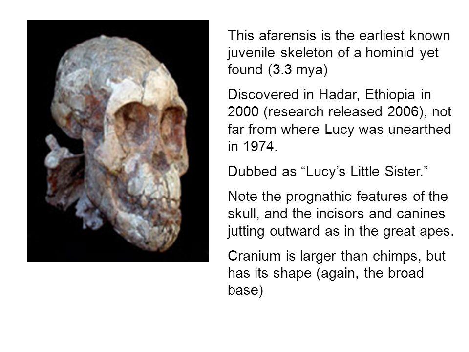 genus australopithecus Homo habilis homo habilis  nevertheless, evidence suggests that in some ways, it was quite similar to species in the genus australopithecus.
