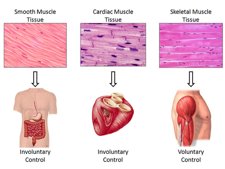 Amazing types of muscle cells motif human anatomy images muscle types images human anatomy organs diagram ccuart Choice Image