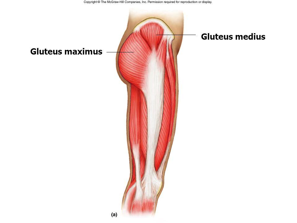 Berühmt Muskeln Im Knie Galerie - Menschliche Anatomie Bilder ...