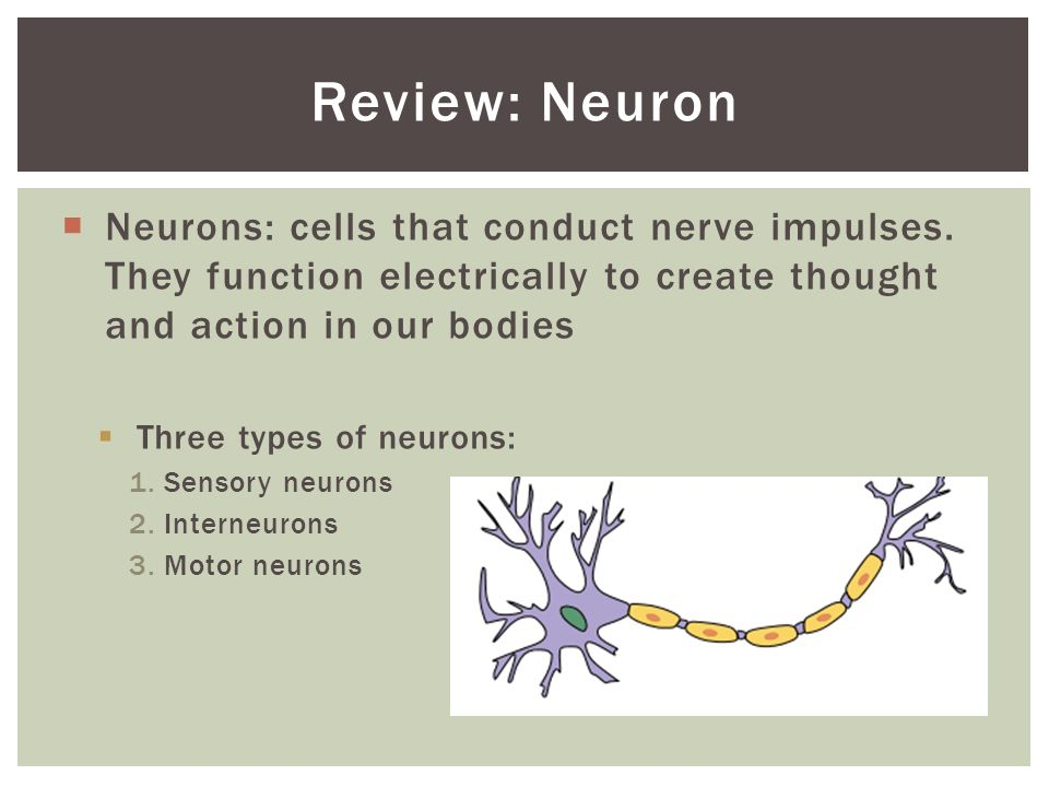 Bio 12 NEURONS. Joke of the day: Wouldn\'t that be great! - ppt download