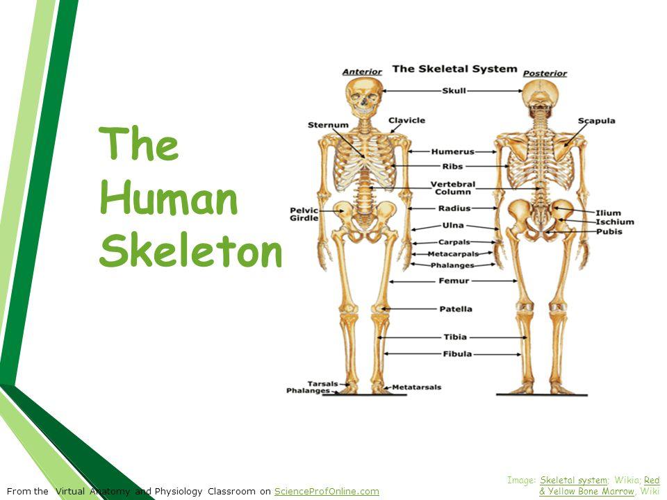 Nett Virtual Anatomy And Physiology Bilder - Menschliche Anatomie ...