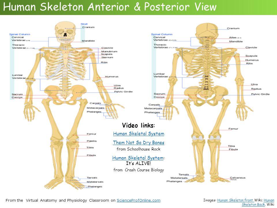 Erfreut Virtual Anatomy And Physiology Bilder - Menschliche Anatomie ...