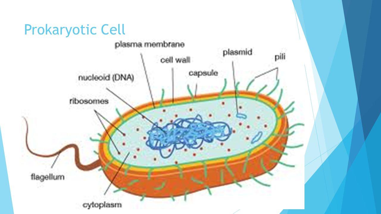 Cells prokaryotic vs eukaryotic cells prokaryotic cells 3 prokaryotic cell pooptronica Choice Image