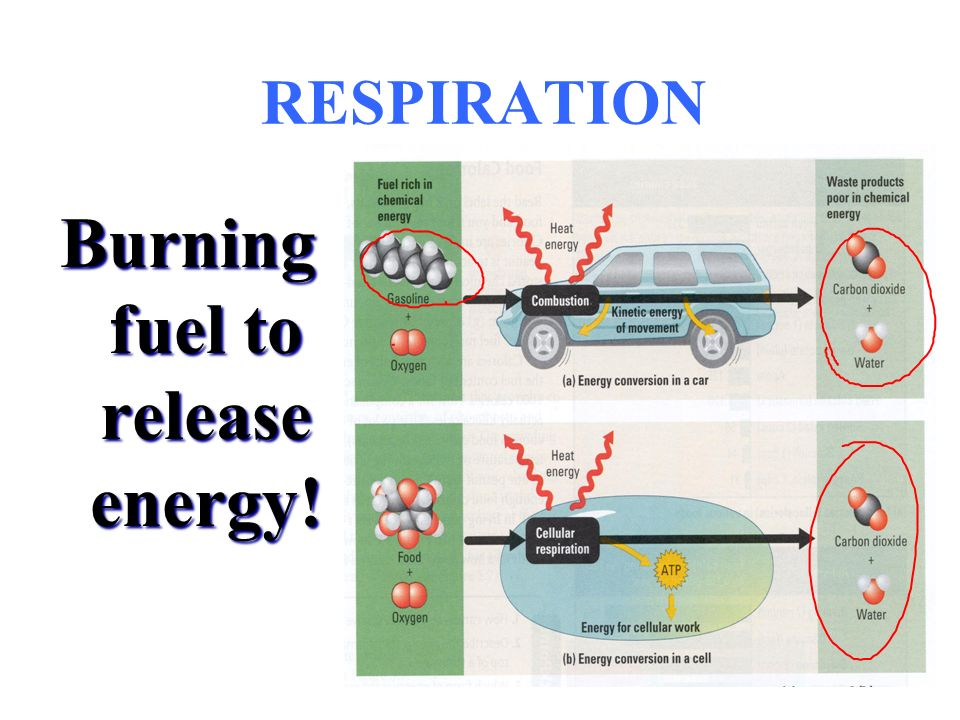 RESPIRATION Burning fuel to release energy!