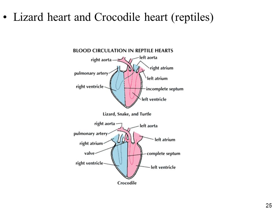 1 copyright the mcgraw hill companies inc permission required 25 lizard heart and crocodile heart reptiles 25 ccuart Images