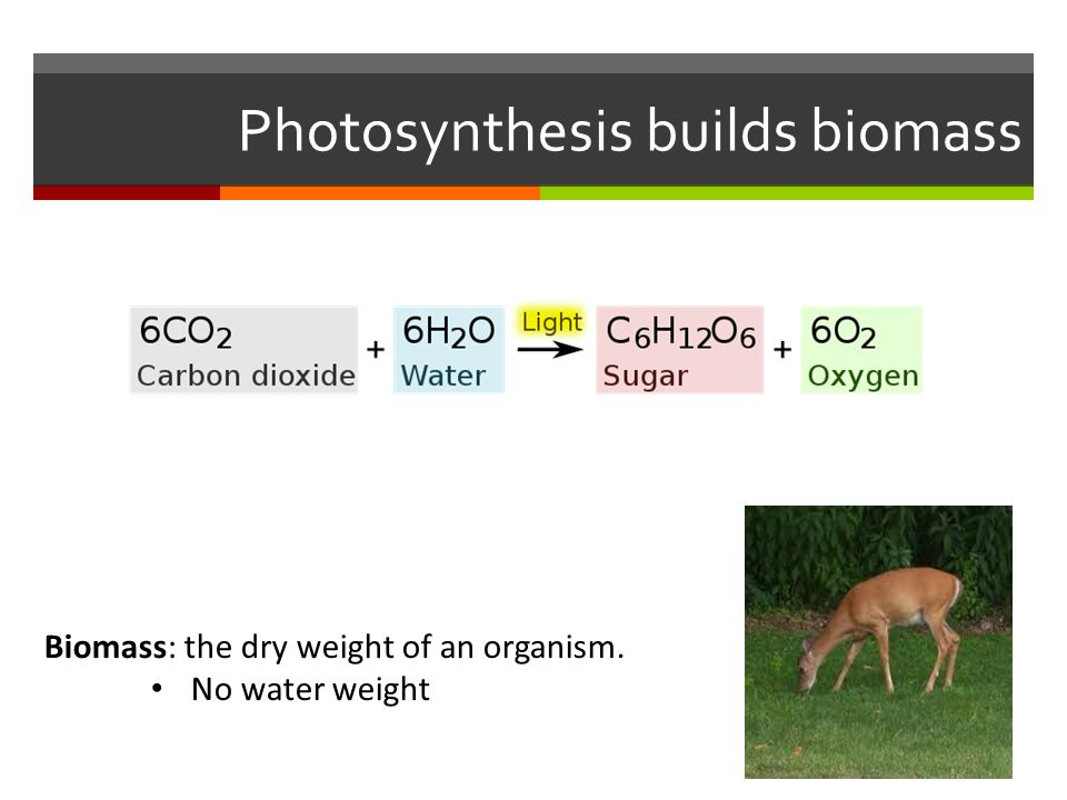 Photosynthesis builds biomass Biomass: the dry weight of an organism. No water weight