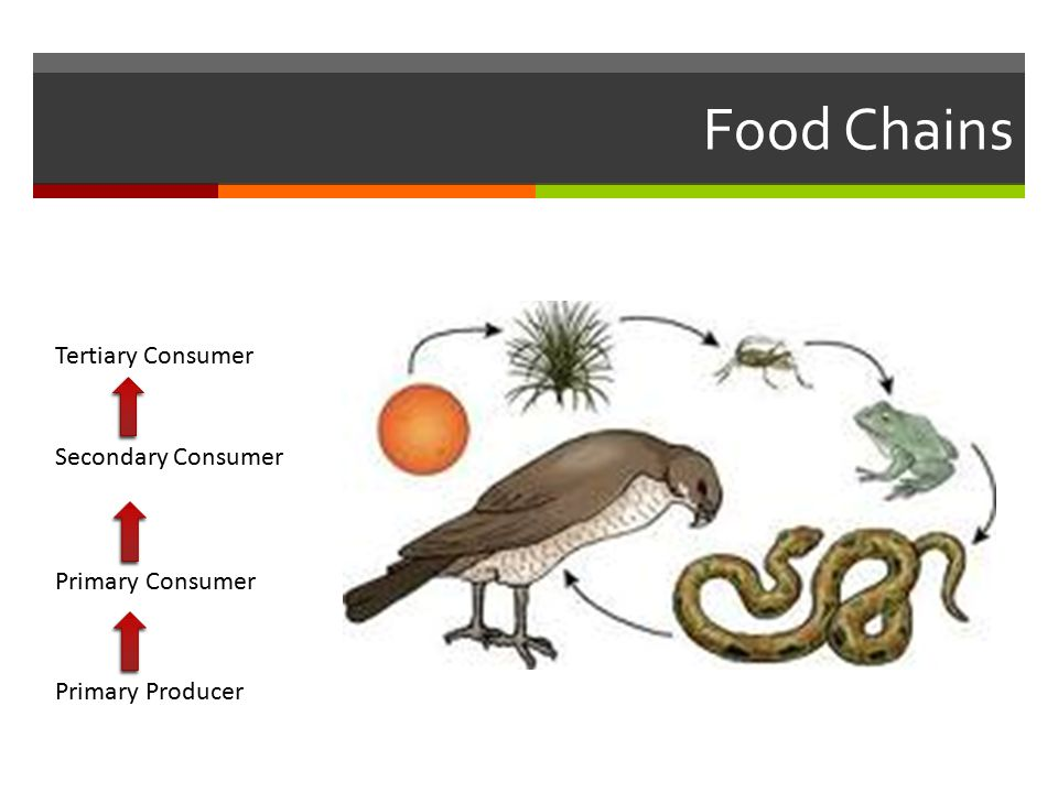 Food Chains Primary Producer Primary Consumer Secondary Consumer Tertiary Consumer