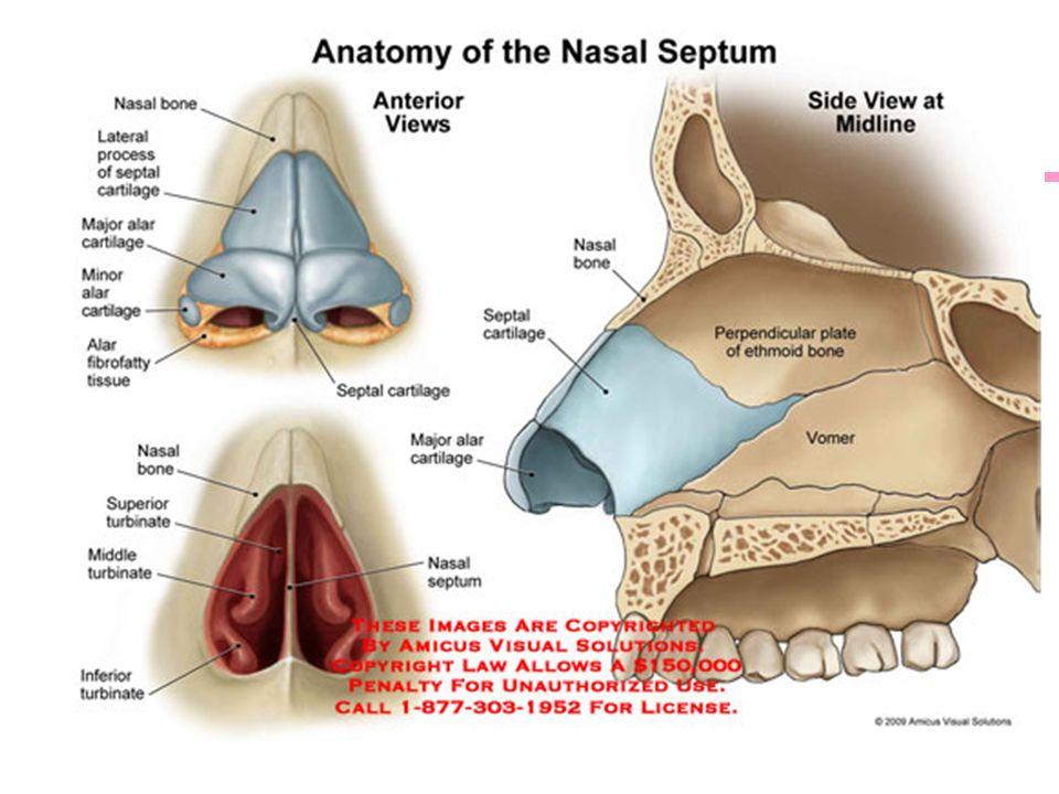 Funky Nasal Turbinates Anatomy Inspiration - Human Anatomy Images ...