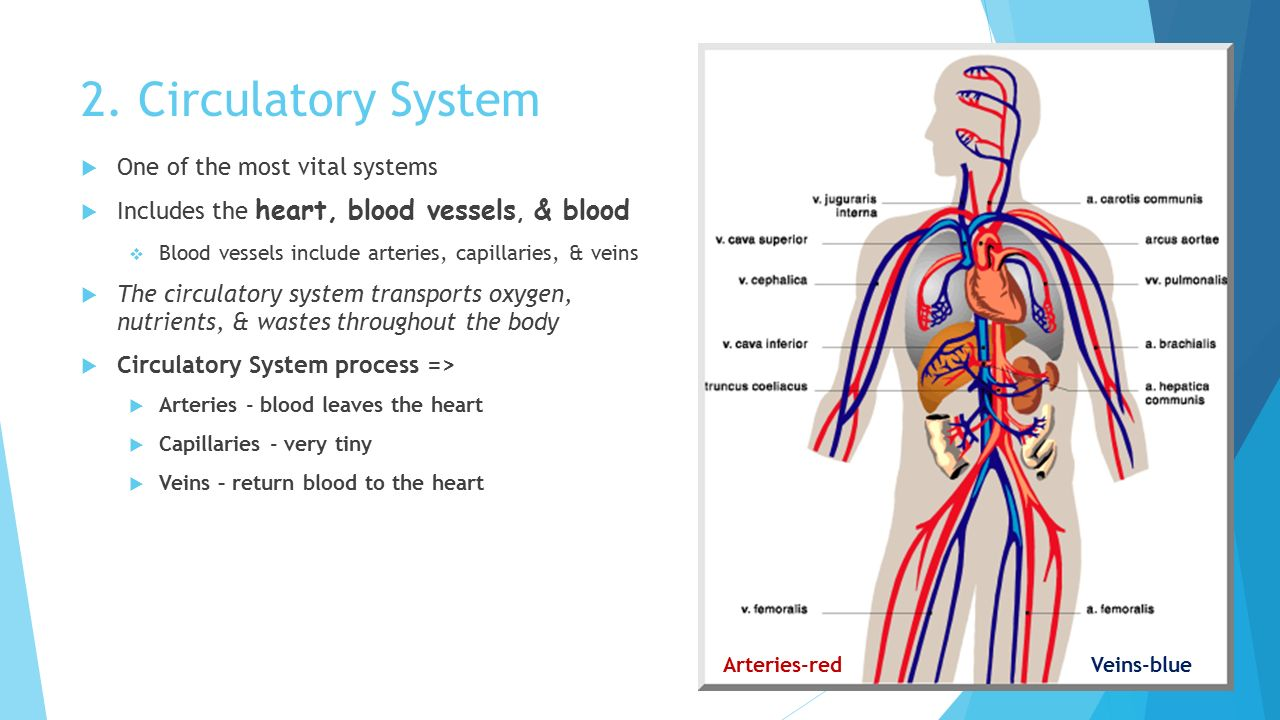 Anatomy of blood vessels lab 3936097 - follow4more.info