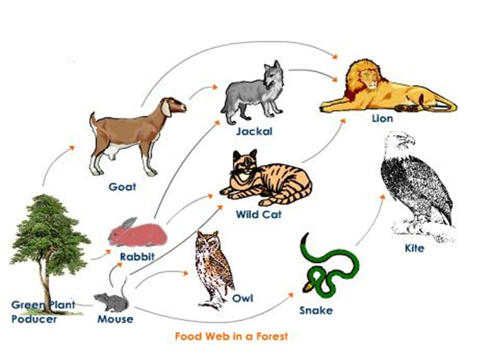 essay on food chain Anything which we eat to live is called food food contains energy the food (or energy) can be transferred from one organism to the other through food chains the starting point of a food chain is a category of organisms called producers.