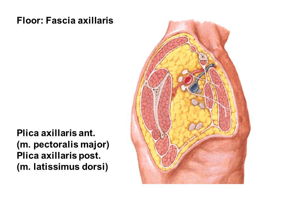 Floor: Fascia axillaris Plica axillaris ant. (m. pectoralis major) Plica axillaris post. (m. latissimus dorsi)